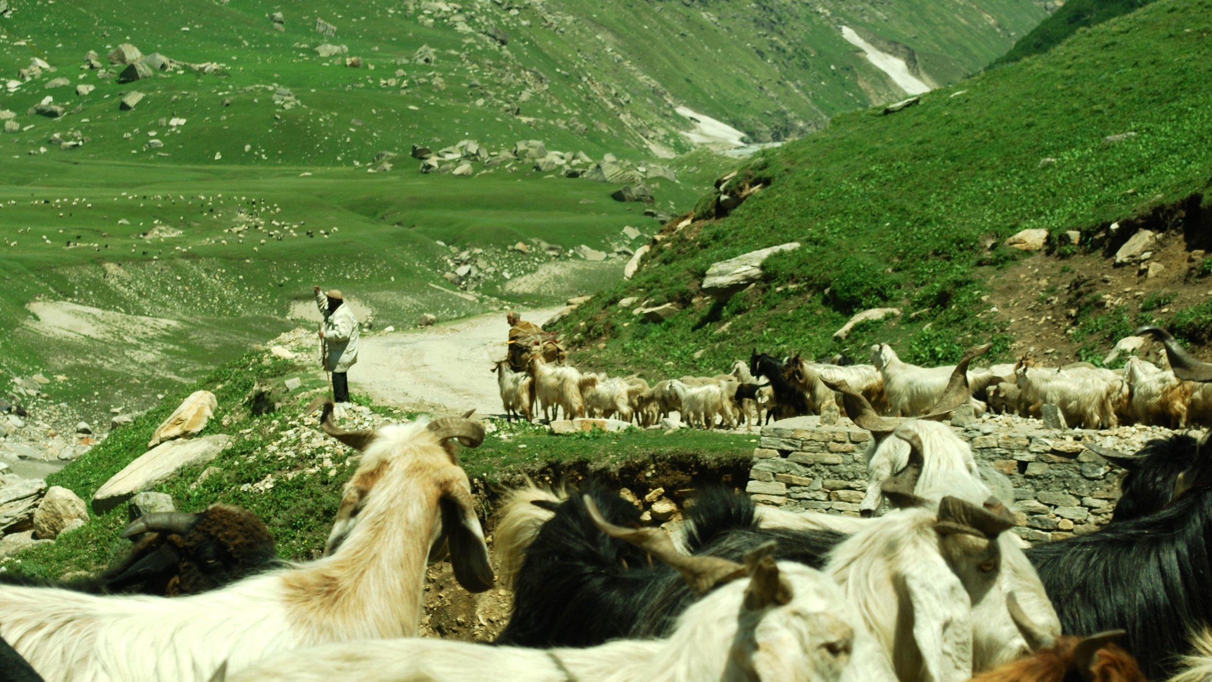 India-Spiti-Manali-road-goats.jpg