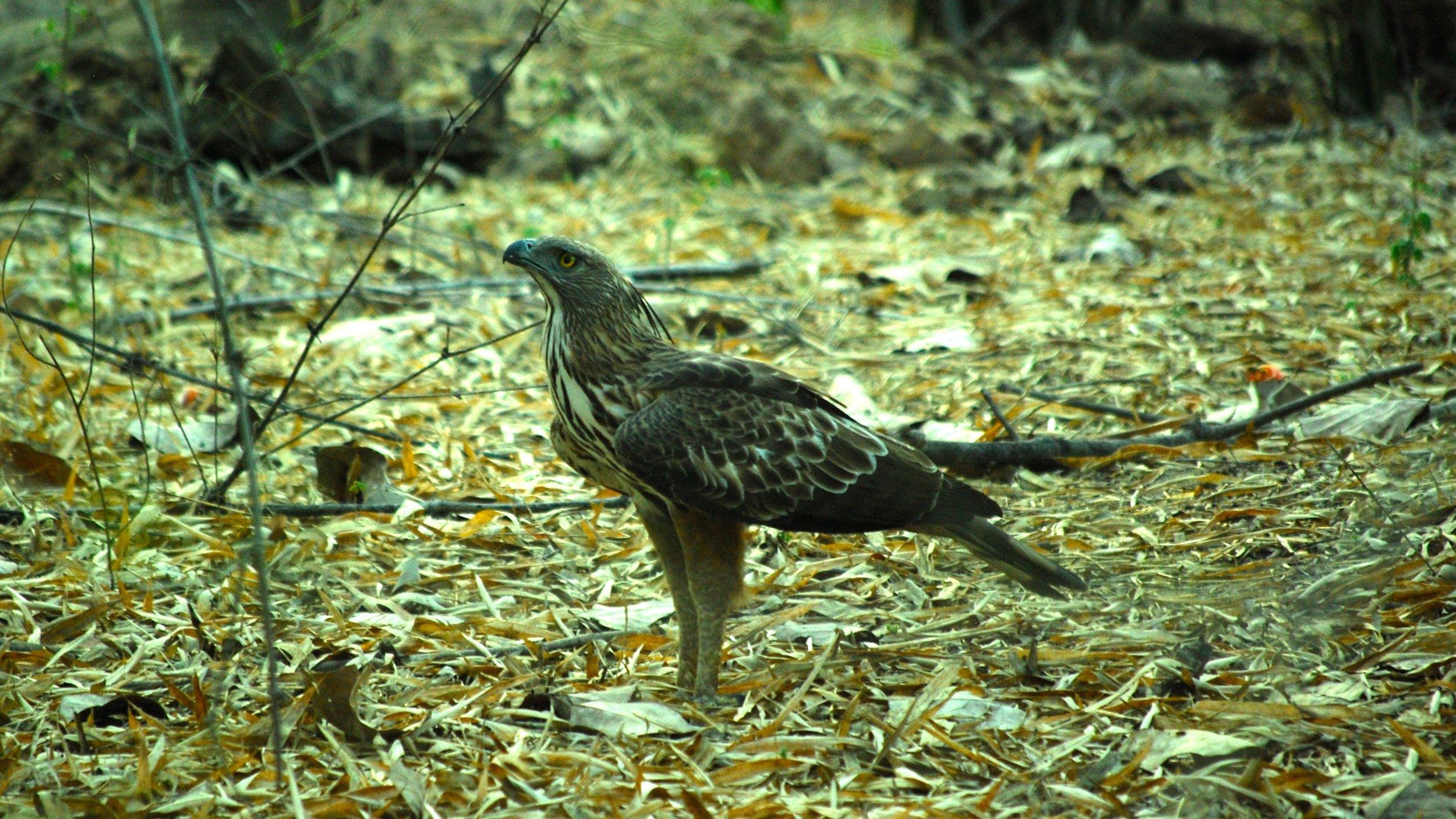 India-Madhya-Pradesh-Bhandavgarh-eagle.jpg