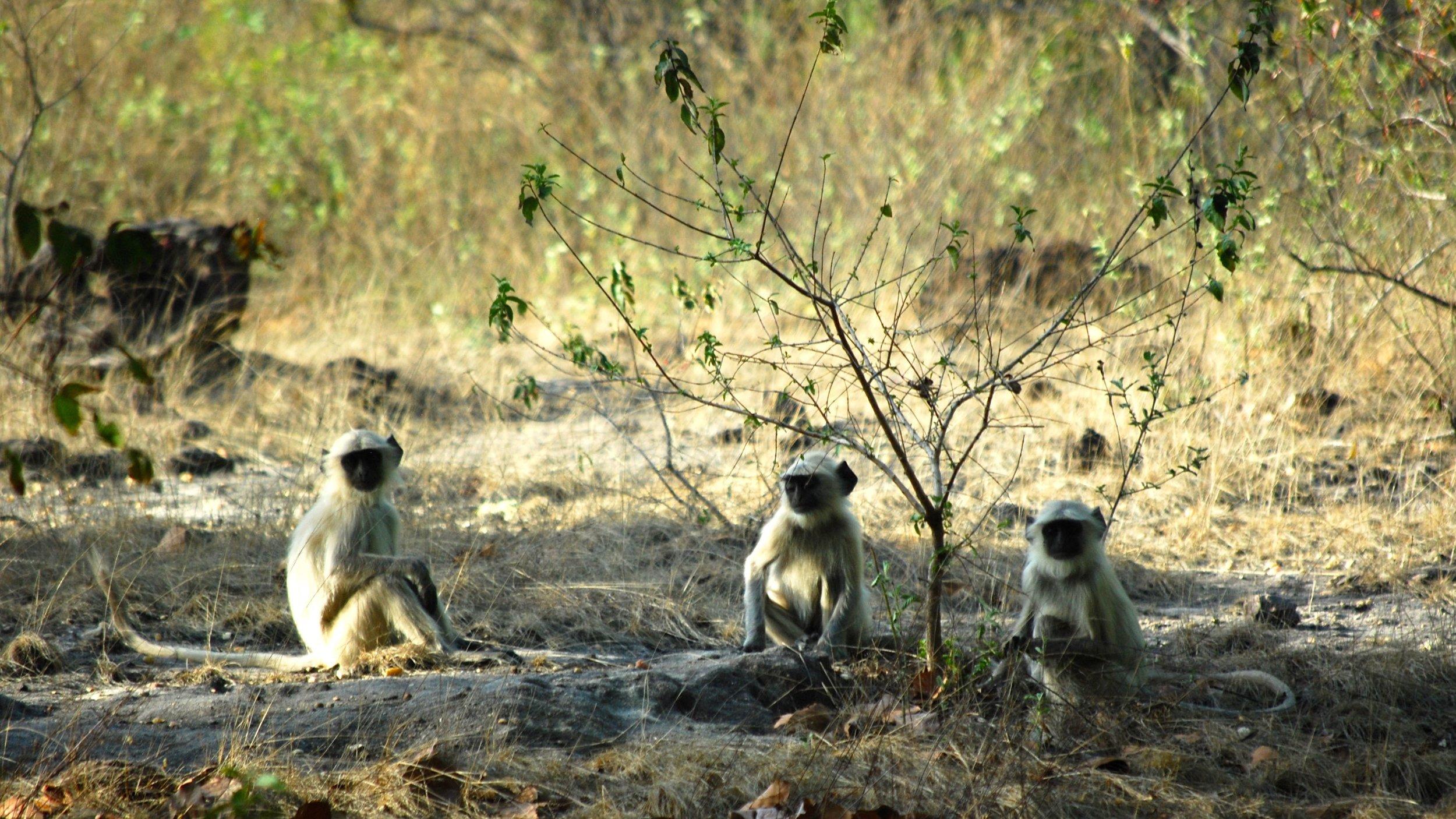 India-Madhya-Pradesh-Bhandavgarh-monkeys.jpg