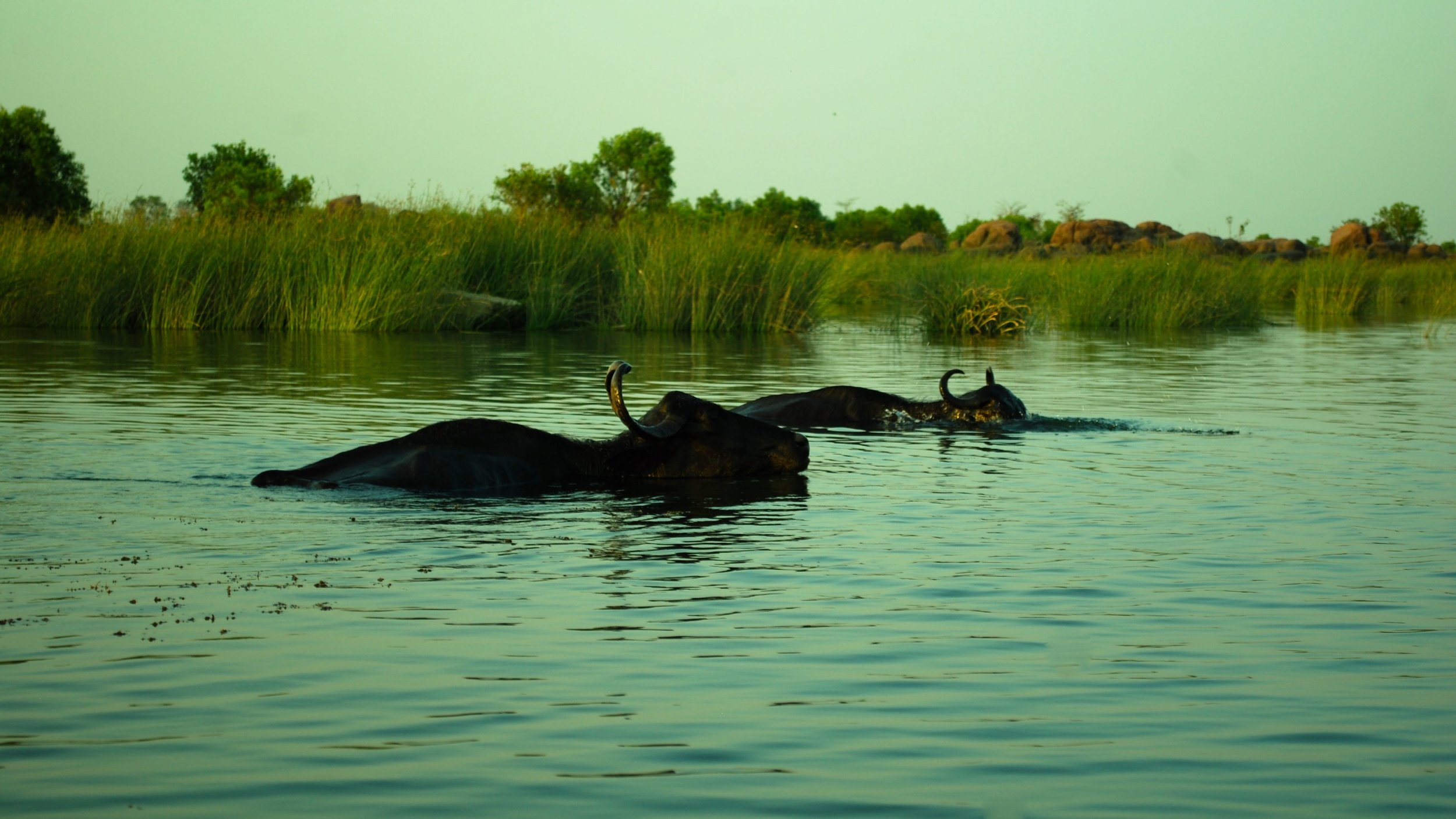 India-Madhya-Pradesh-Sara-at-Toria-buffalo.jpg
