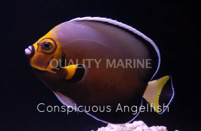 Copy of Conspicuous Angelfish