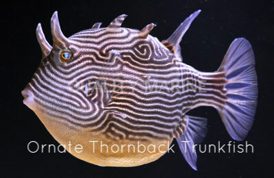 Copy of Ornate Thornback Trunkfish