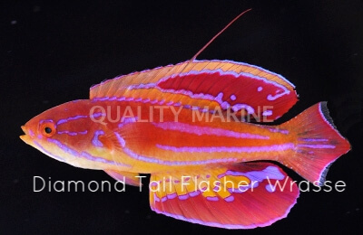 Copy of Diamond Tail Flasher Wrasse
