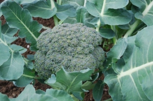 Broccoli is actually the flower of this plant.