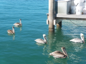 Pelicans can spot a fish swimming under water from 60 feet in the air. Once it's prey has been spotted, they dive into the ocean bill first. When they collide with the prey, the impact stuns the victim enough that they can scoop it up.