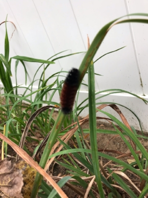 Fall, in the northeast, you can find a fuzzy caterpillar called the Banded Woolly Bear. This is the larvae of the Isabella moth. It is said that the bands of the Woolly Bear can forecast how severe the winter will be. If the black bands are wide, the winter will be mild. If narrow, the winter will be severe. As you can see, we are in for a bad one!