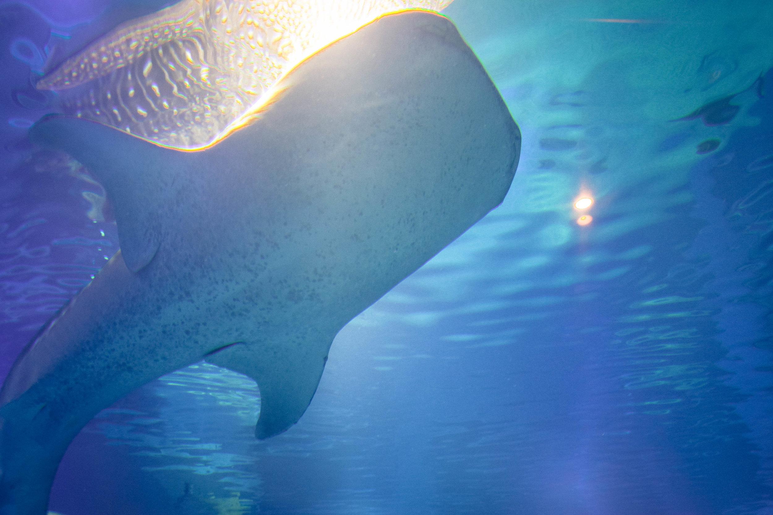 Whale shark at the Osaka Aquarium!