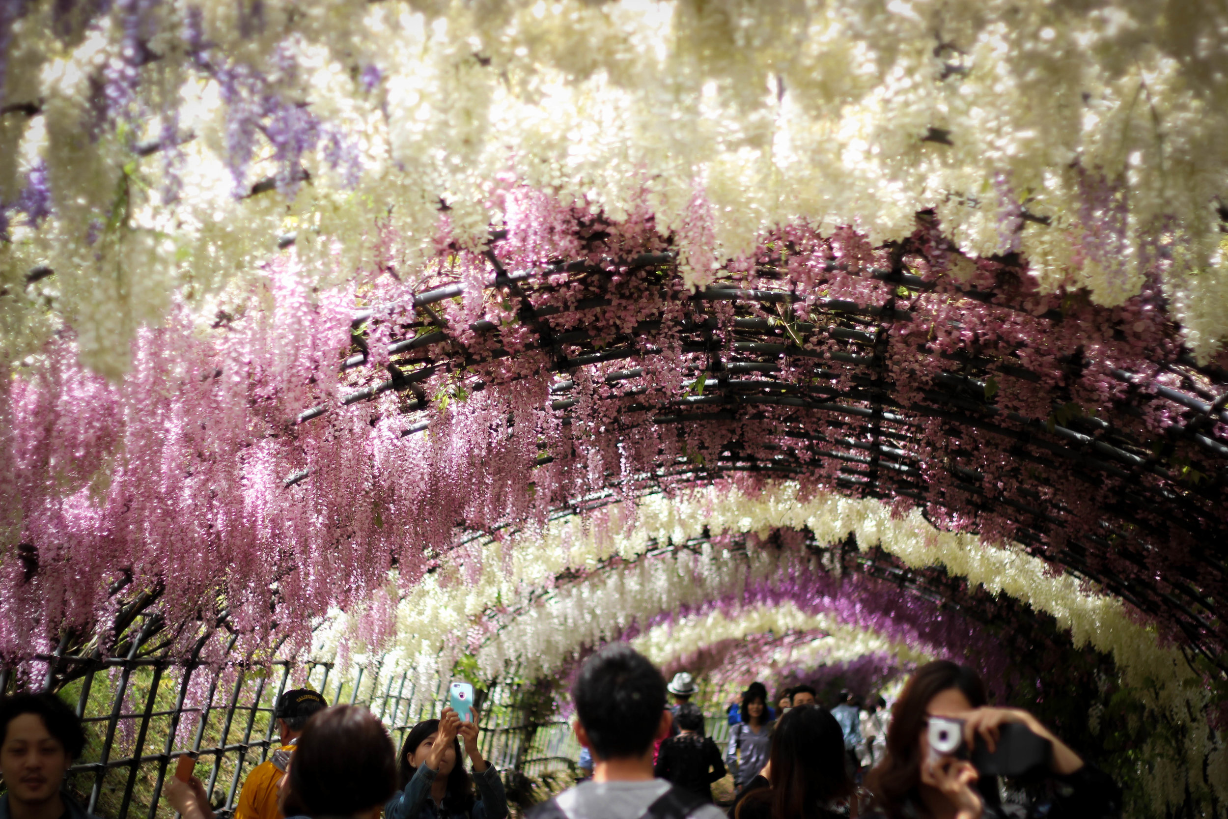 Tunnels and tunnels of wisteria as far as the eye can see.