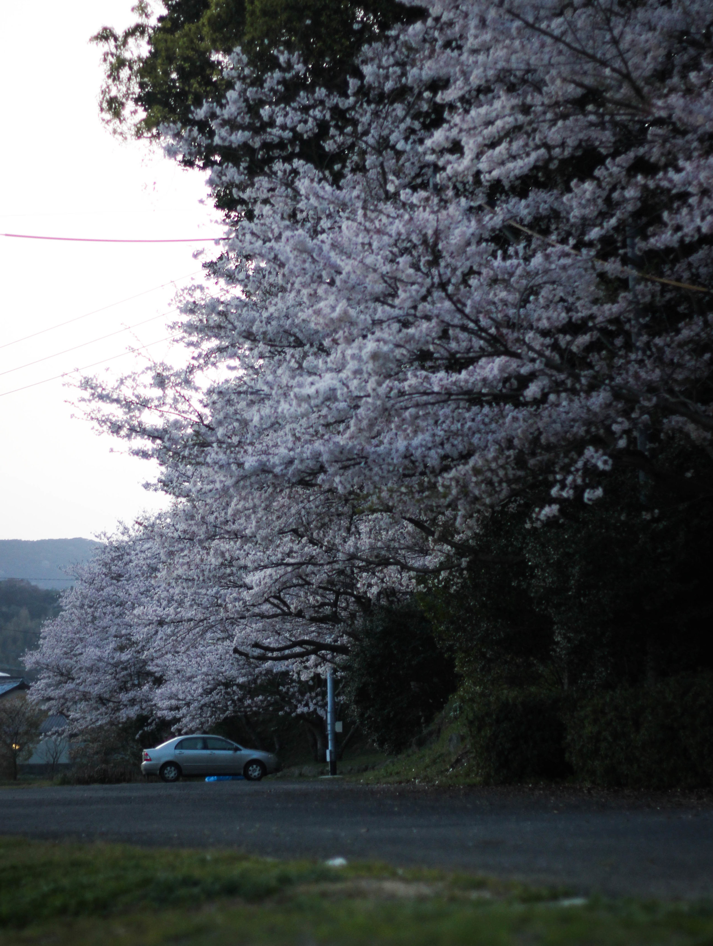 Cherry blossoms at dusk. There is a night equivalent to a hanami called 'yozakura' (lit night + sakura) and big cities have lit up areas to see the night sakura.