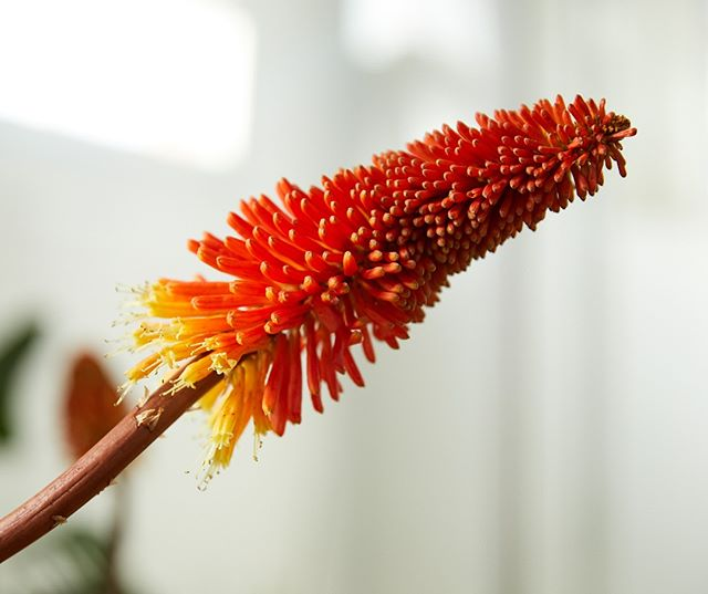 Red Hot Pokers are providing bright pops of colour to our winter gardens right now. Native to Africa, they do really well here. Seeing them all around Preston at the moment. ⠀⠀⠀⠀⠀⠀⠀⠀⠀ ⠀⠀⠀⠀⠀⠀⠀⠀⠀ #Kniphofia #Redhotpoker #orangeflower #prestonflorist #melbourneflorist