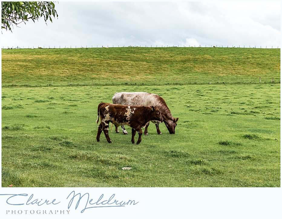 Cattle at Gibside Estate, Claire Meldrum Photography