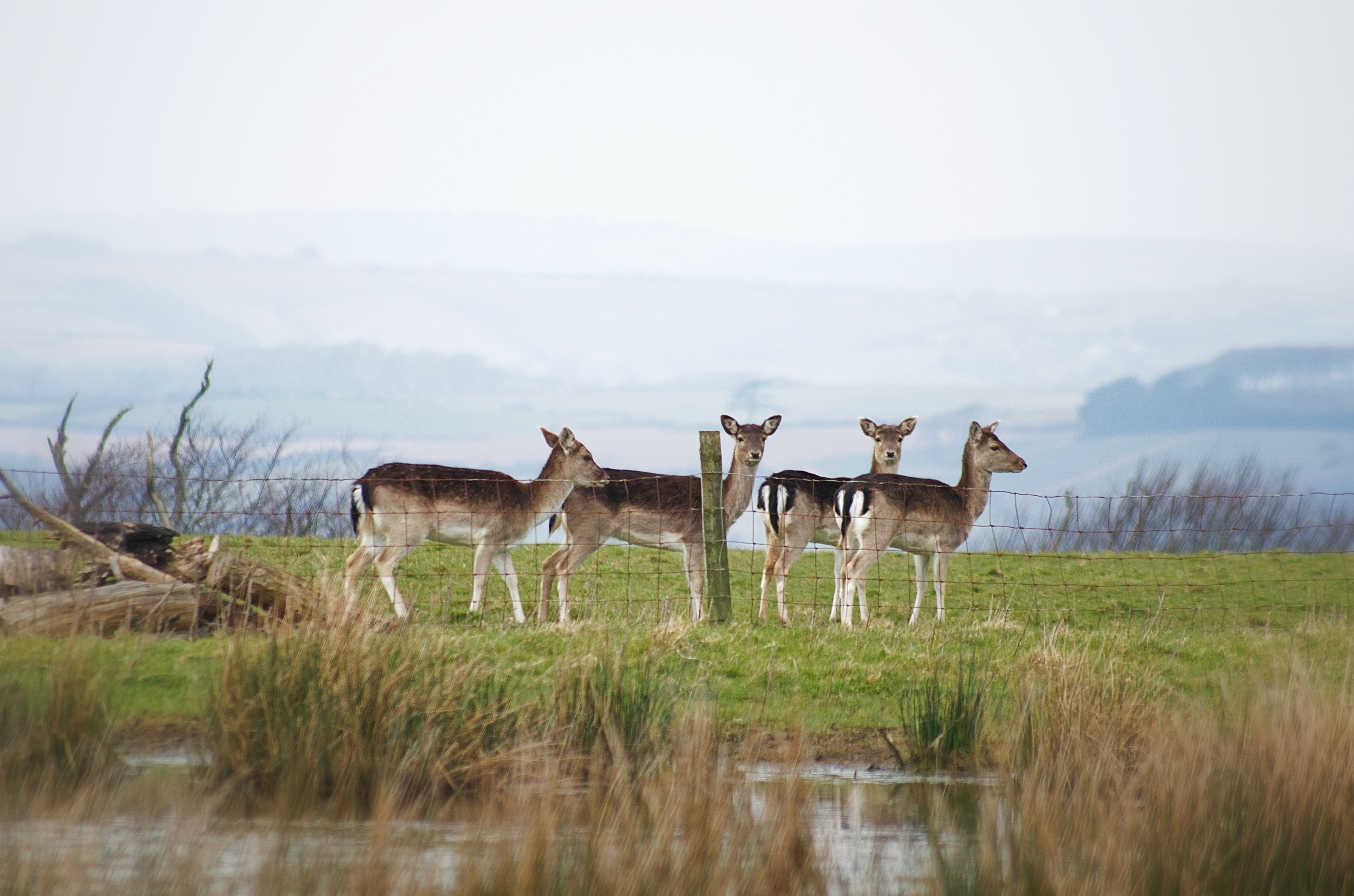 In 1515 Sir Piers Edgcumbe was given permission by King Henry VIII to empark deer. Their descendents roam freely on the Peninsula to this day.