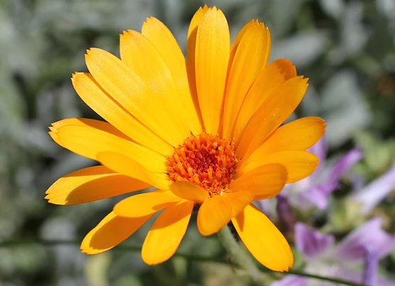 Isles of Scilly Wildflower Of The Week - Pot Marigold.