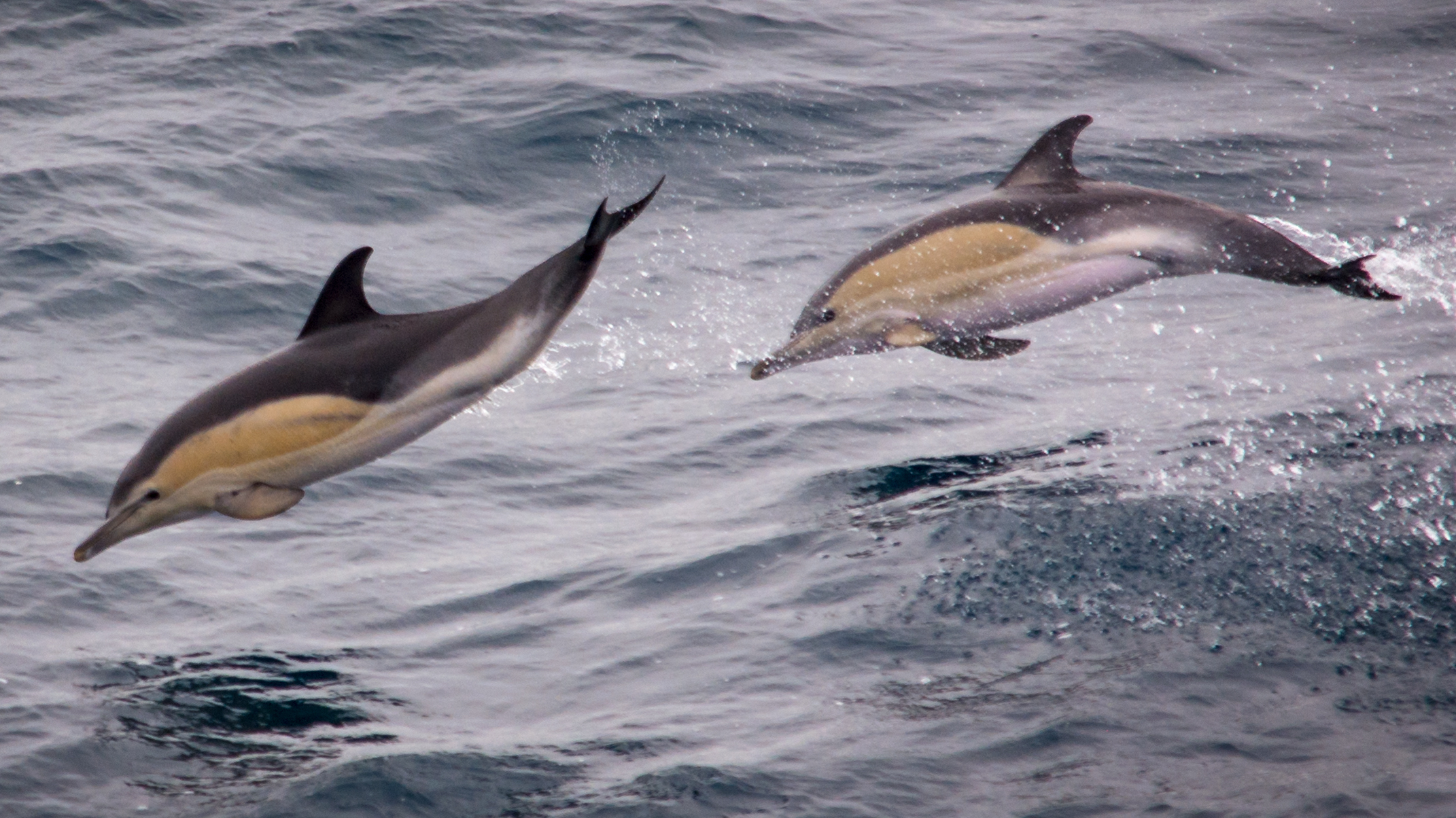 Common Dolphins are seen frequently in waters around Scilly.