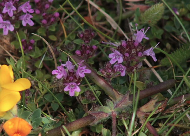 Isles of Scilly Wildflower Of The Week - Wild Thyme.