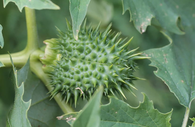 Isles of Scilly Wildflower Of The Week - Thorn Apple.