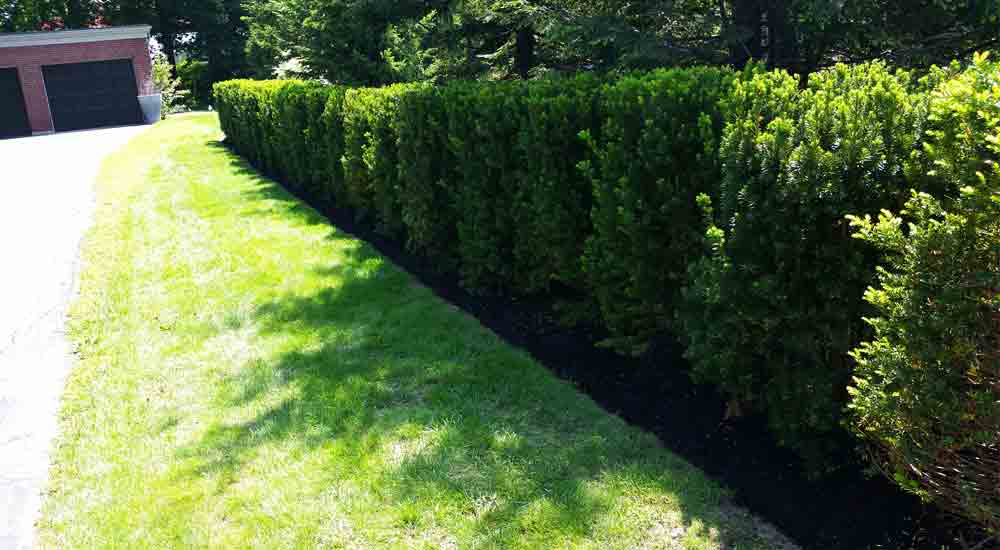 Hedge Planting After