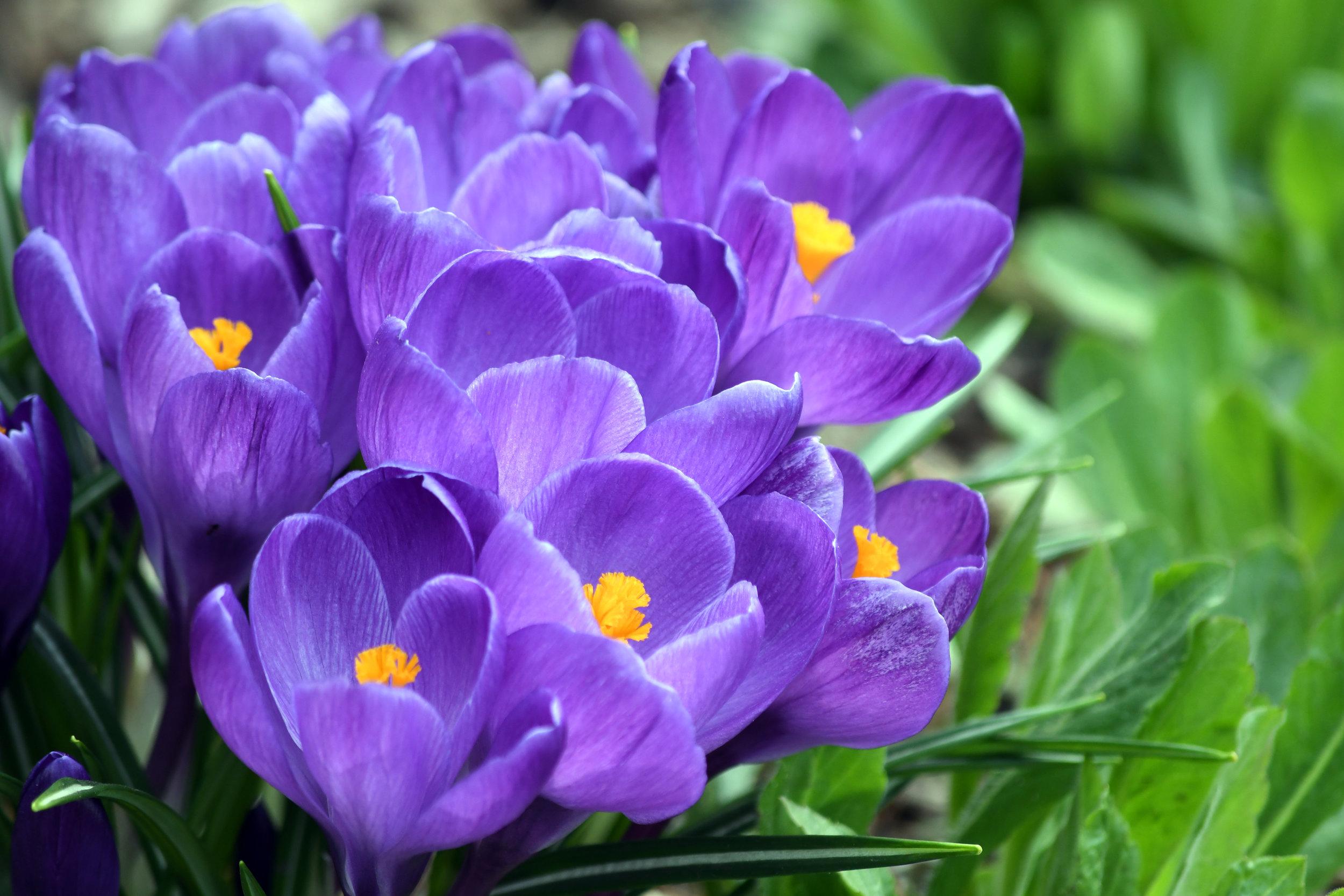 crocus flower south london club
