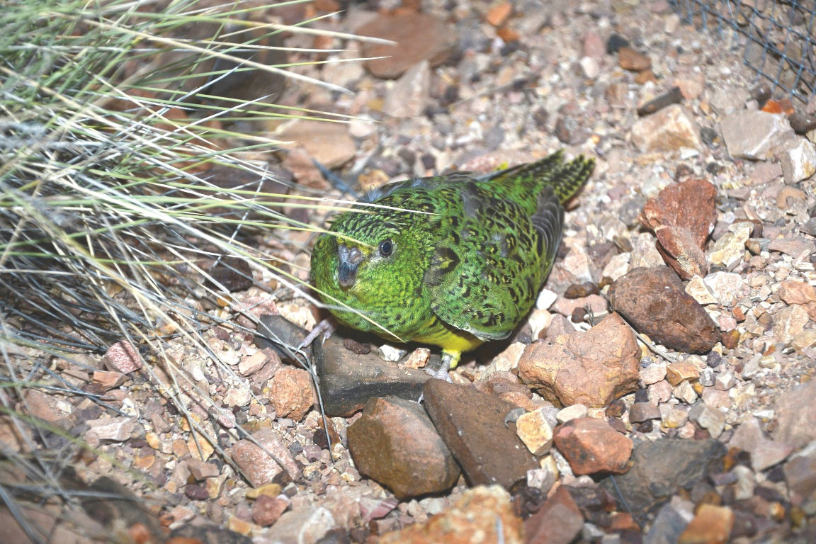 night parrot 2.jpg
