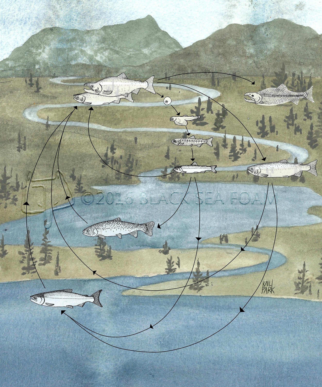 Salmon Life Cycle final version web.jpg