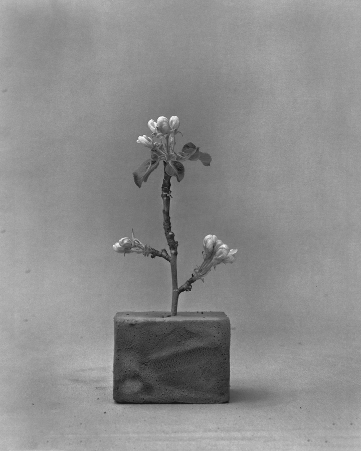 """Malus domestica (apple blossoms) 2011  silver gelatin print- hand bleached 9"""" x 12"""""""
