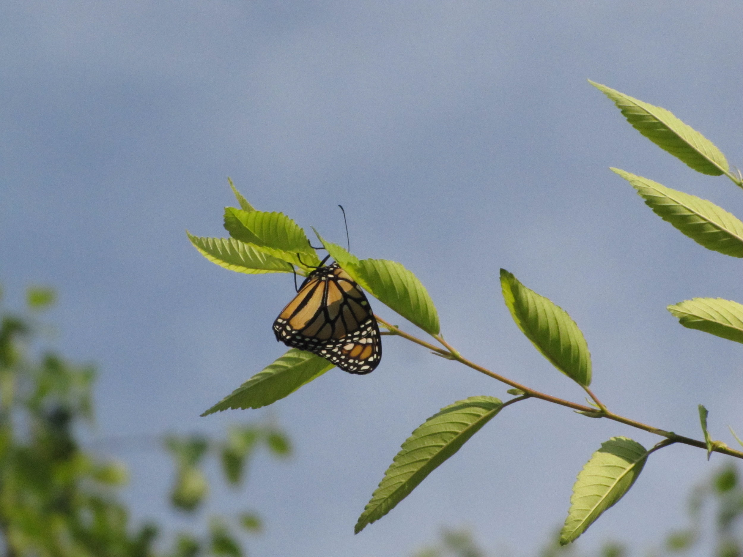 One of the two released Monarchs.This is the female that choose to hang around for a while.