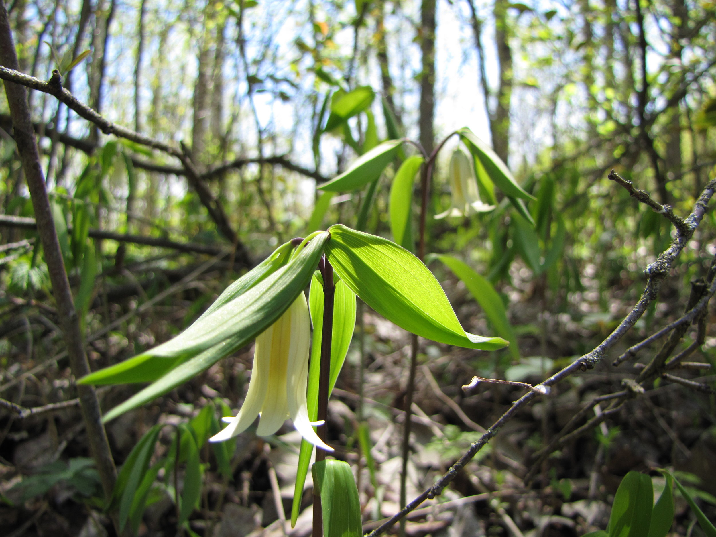 Sessile- Leaf Bellwort