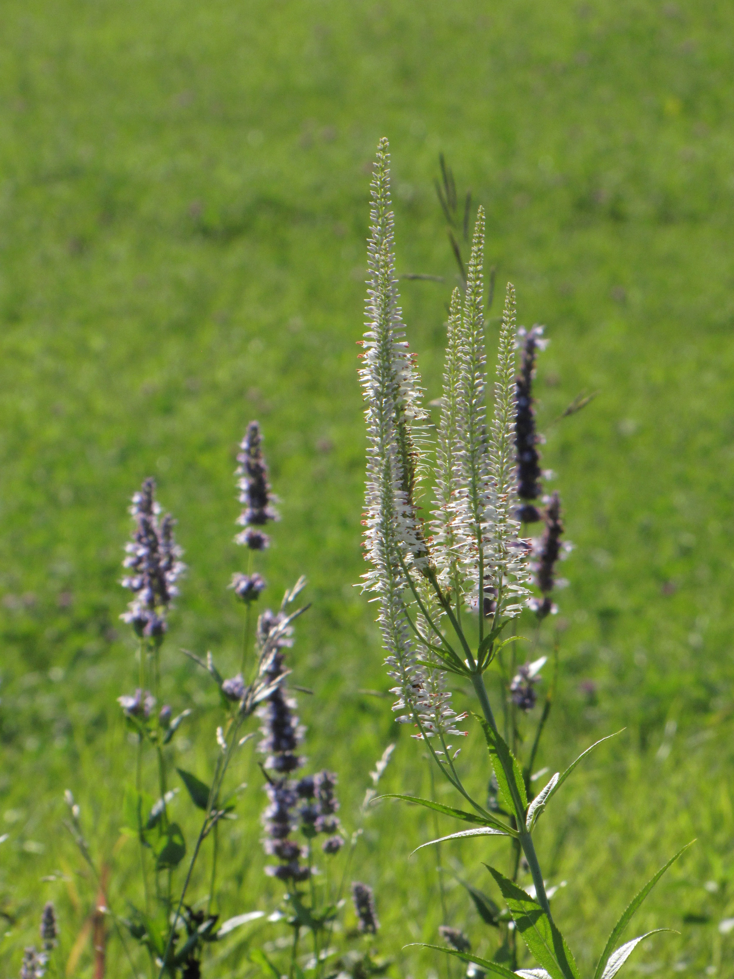 Culver's Root against Giant Purple Hyysop