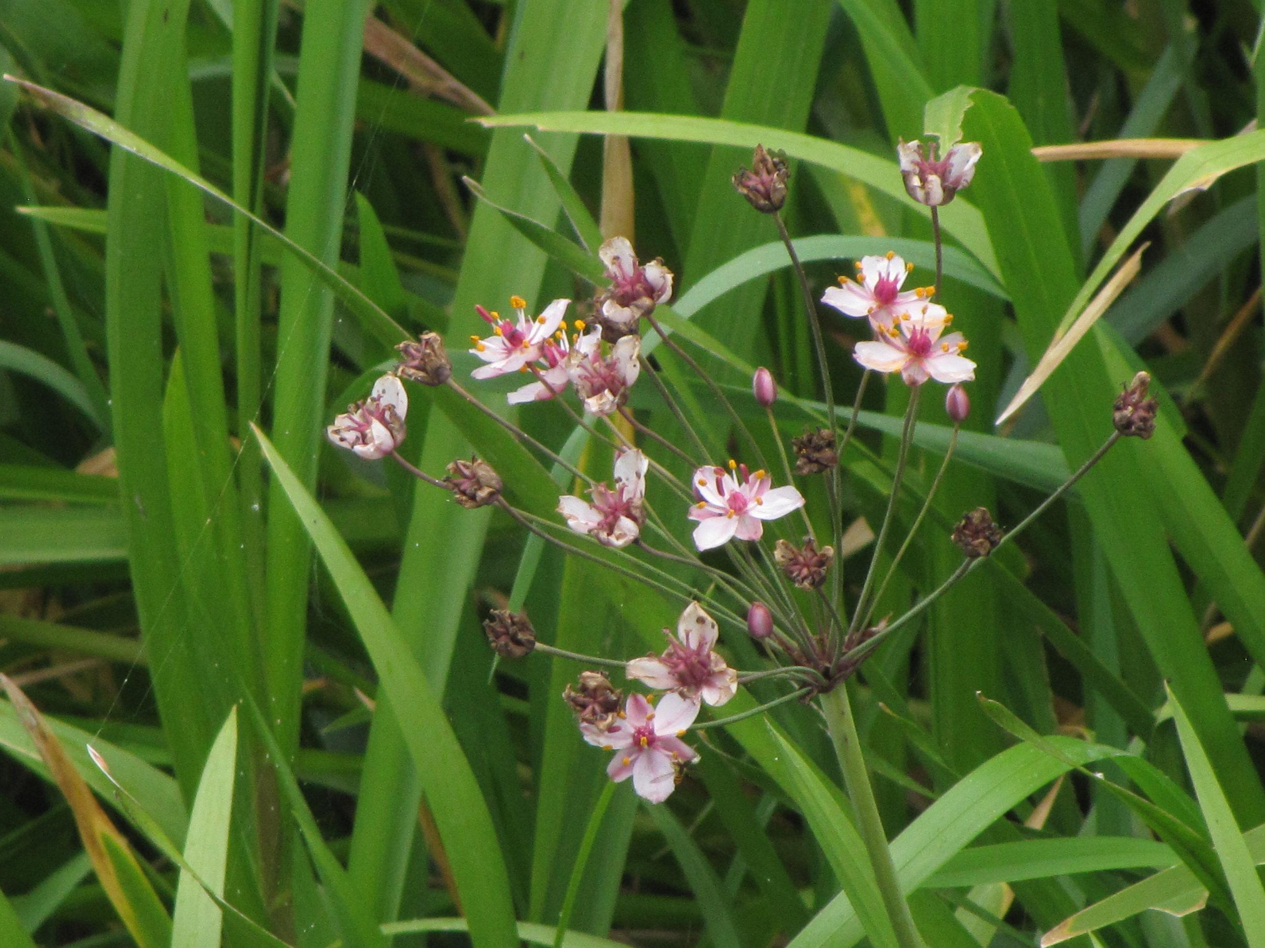 floweringrush