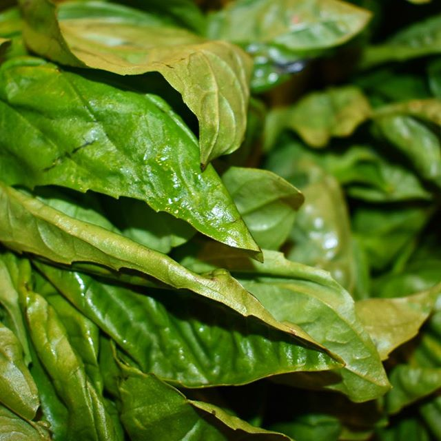 Fresh basil for our pesto!