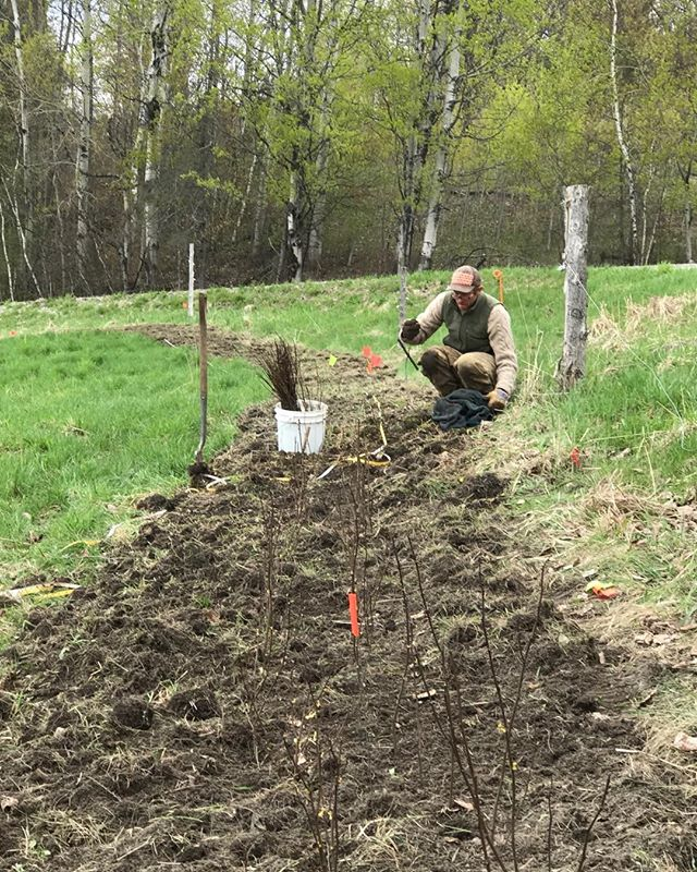 If you missed Aaron of Walking Onion and Robinson Hill Beef at NOFA Mass this weekend - come see us talk about our VT Grassfarmers mini-grant exploring cattle proof hedge installation and maintenance over time at the VT Grassfarmers and Beef Producers conference next weekend, January 20th!  #rootedinvt #livingfence #vtgrassfarmer #hedge #blacklocust #carbonfarming #agroforestry #grassfed #permaculture #youngfarmers