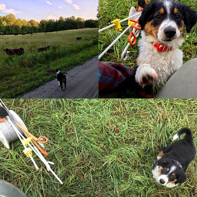 Learning the trade...💚🐕🐂. #grazing #puppylove #englishshepherd #rootedinvermont #vermontfarm #grassfedbeef #herdingdog #justbeginning #newlove #regenerativeagriculture #regrarians #farmlife