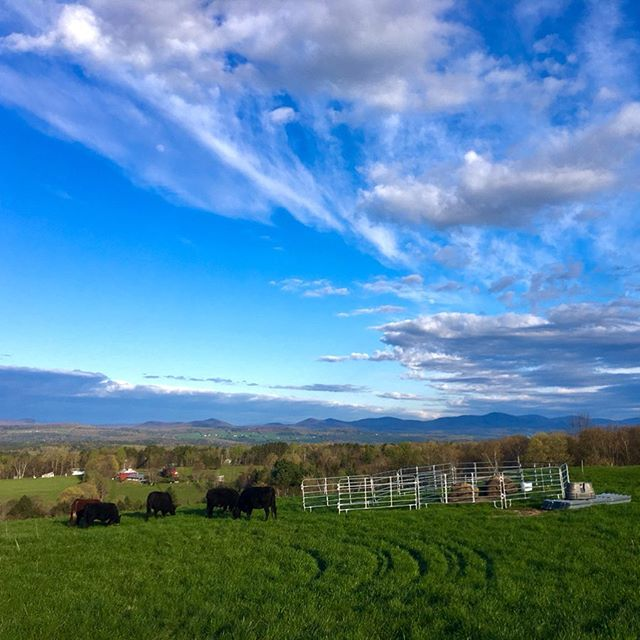 Last week the cattle we had overwintered at Sparrow Farm returned back to the pasture on Robinson Hill Rd, and were soon joined by a new crew of young Devons.  Everyone's doing well and excited to be out on grass! #grassfarming #vtspring #carbonfarming #makeamericagrazeagain #rootedinvermont #greengrass #grassfedbeef #pasturelife