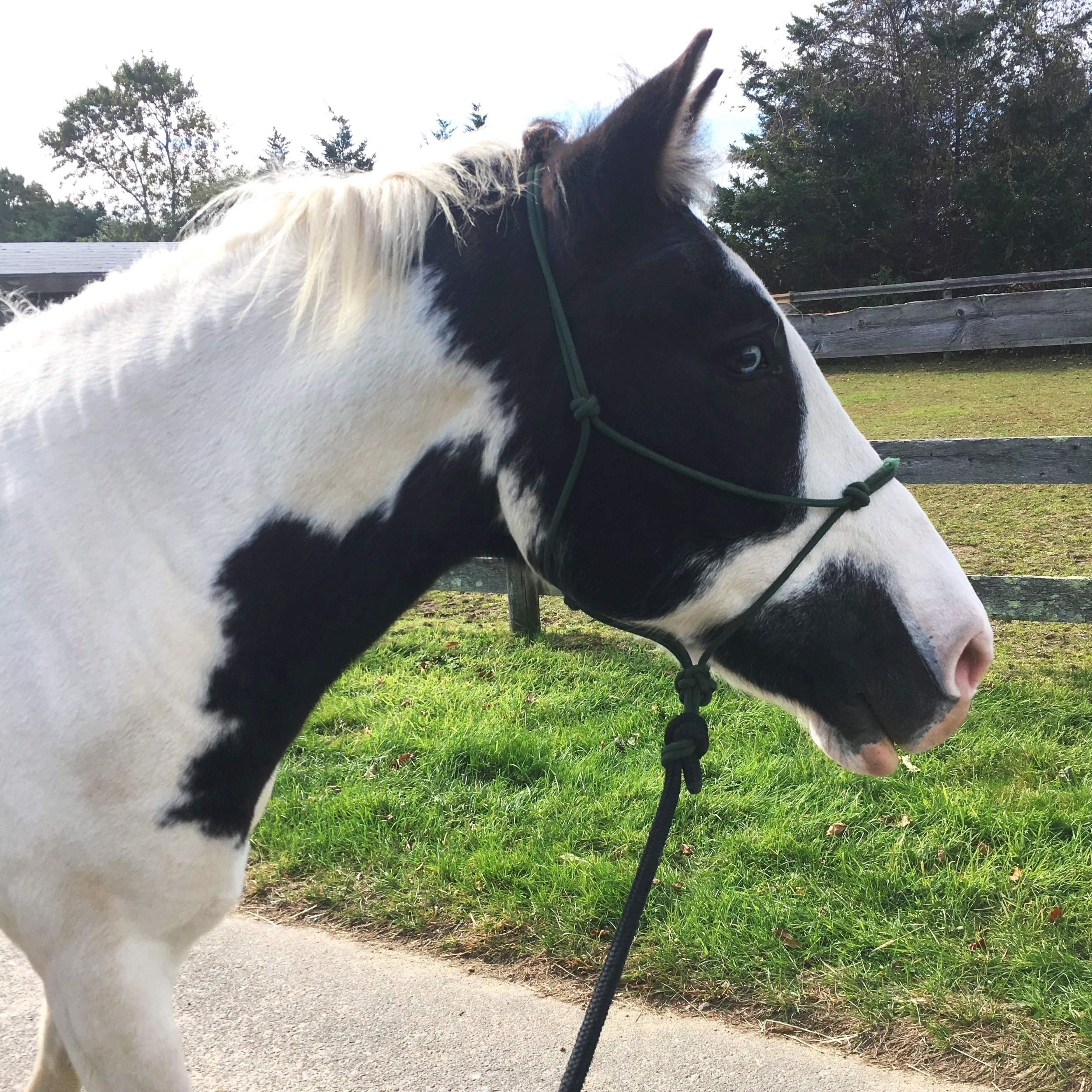 Pumba - Pumba is the cutest blue eyed paint cross. He loves attention and going out on trails. Pumba is steady and safe for all levels of riders and takes part in all our programs, one of his favorite activities is working with students learning mounted archery and doing pony rides for little kids. Pumba always comes up to say hi to visitors in a very polite and friendly way. He loves being part of the herd but sometimes we have to limit his grass consumption for health reasons.