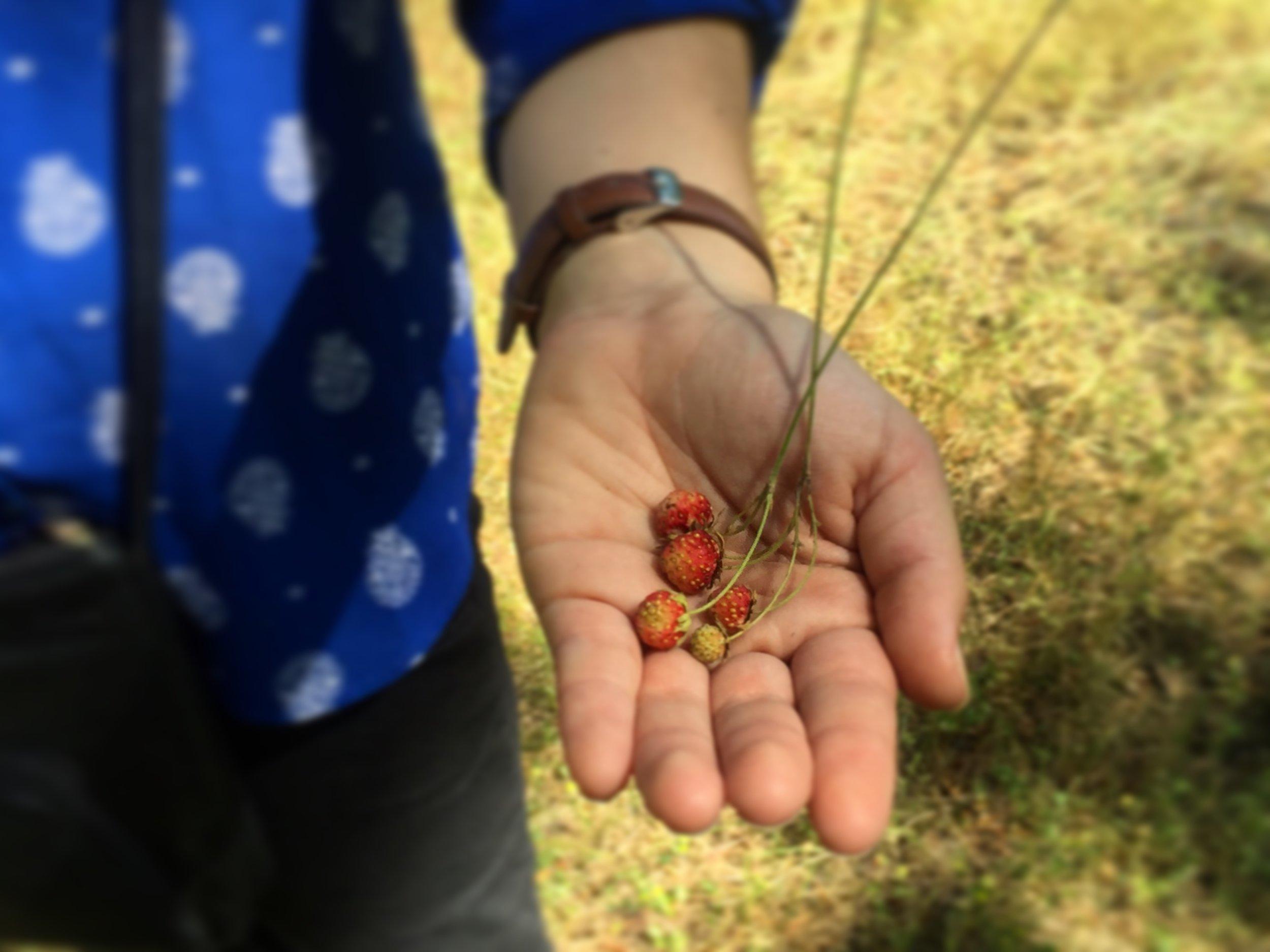 Dziki mori or wild strawberries
