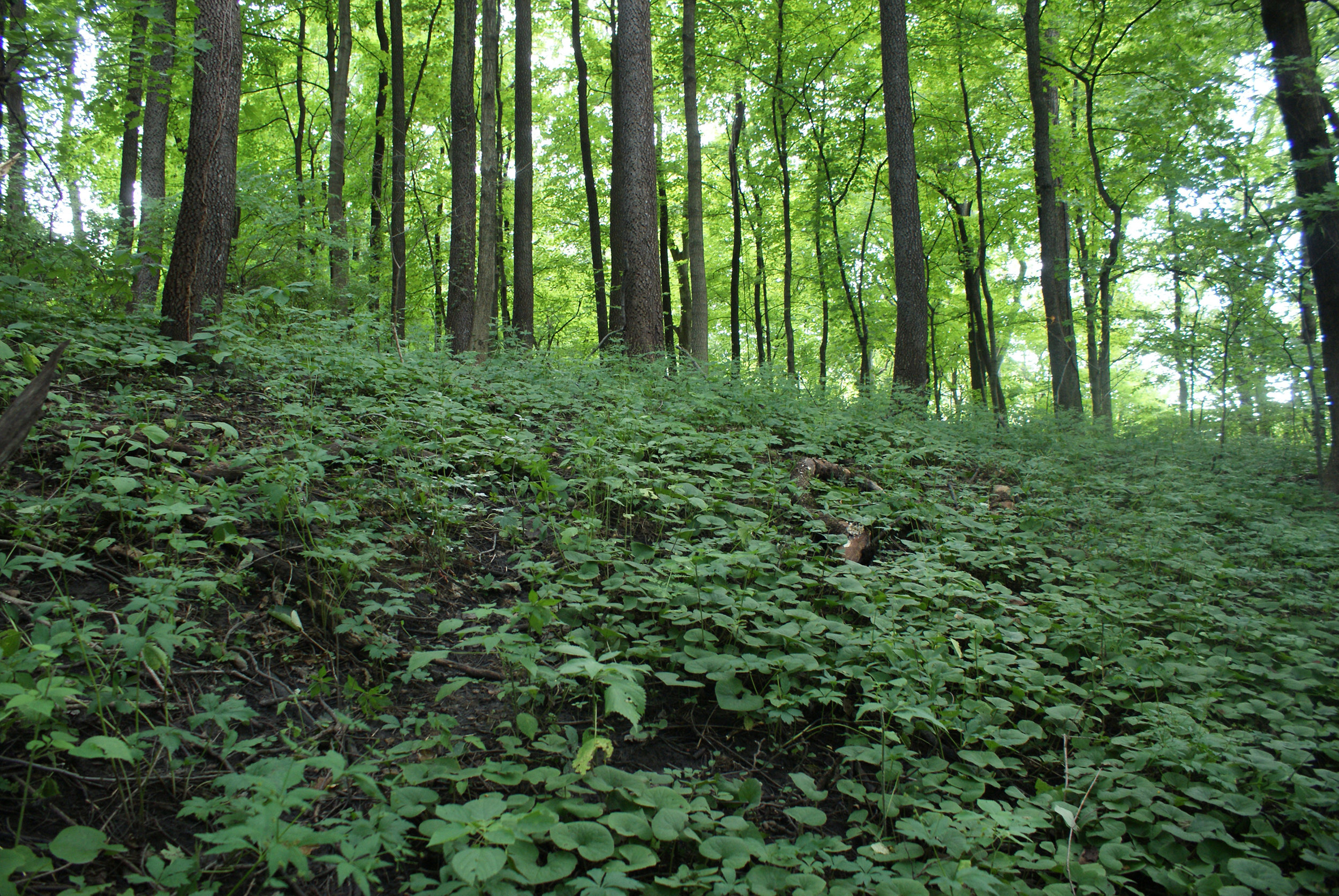 Woodland understory late Summer, St. Clair County Greenspace