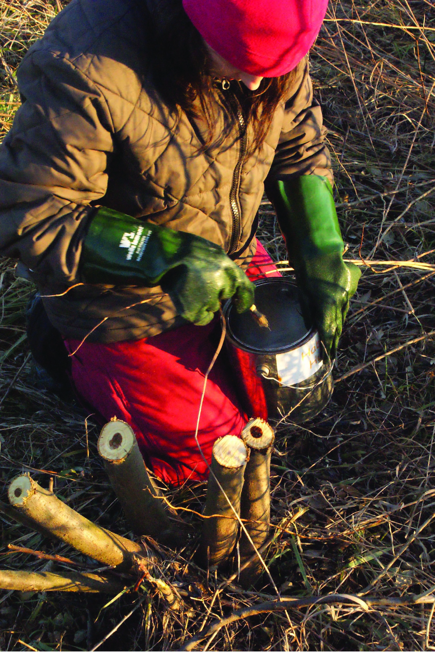 Treating an invasive Autumn Olive stump with herbicide in early spring