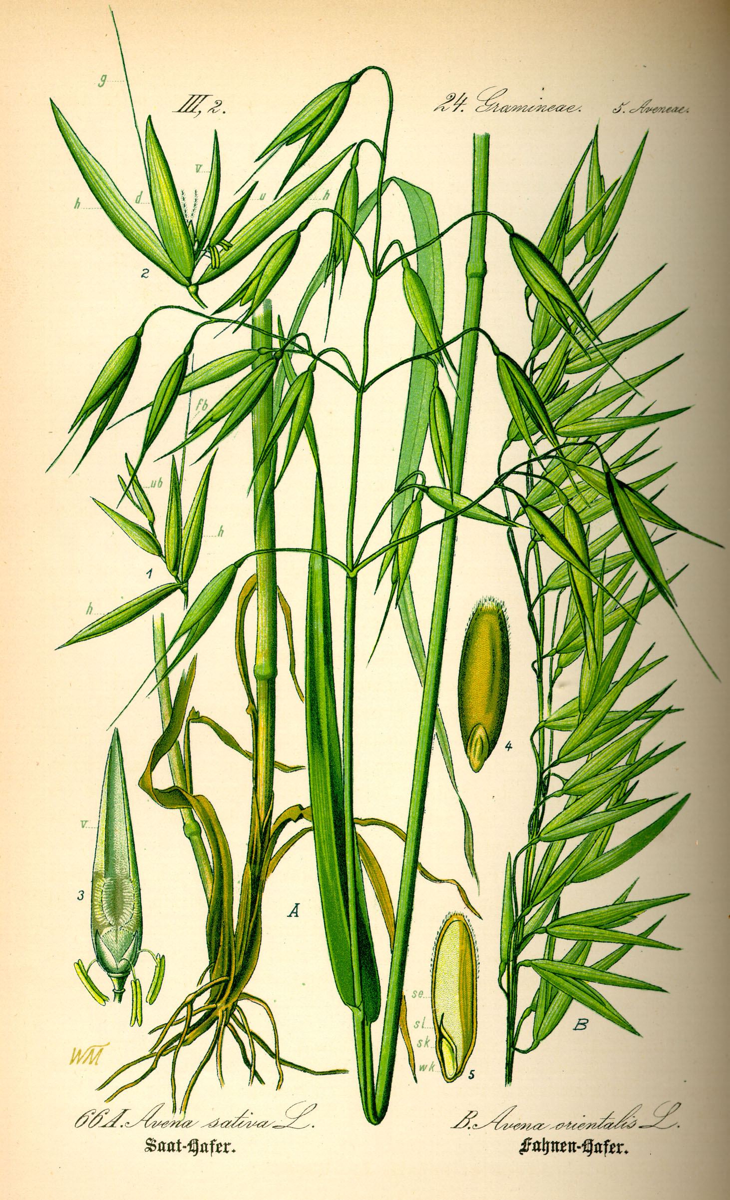 illustration_avena_sativa0.jpg