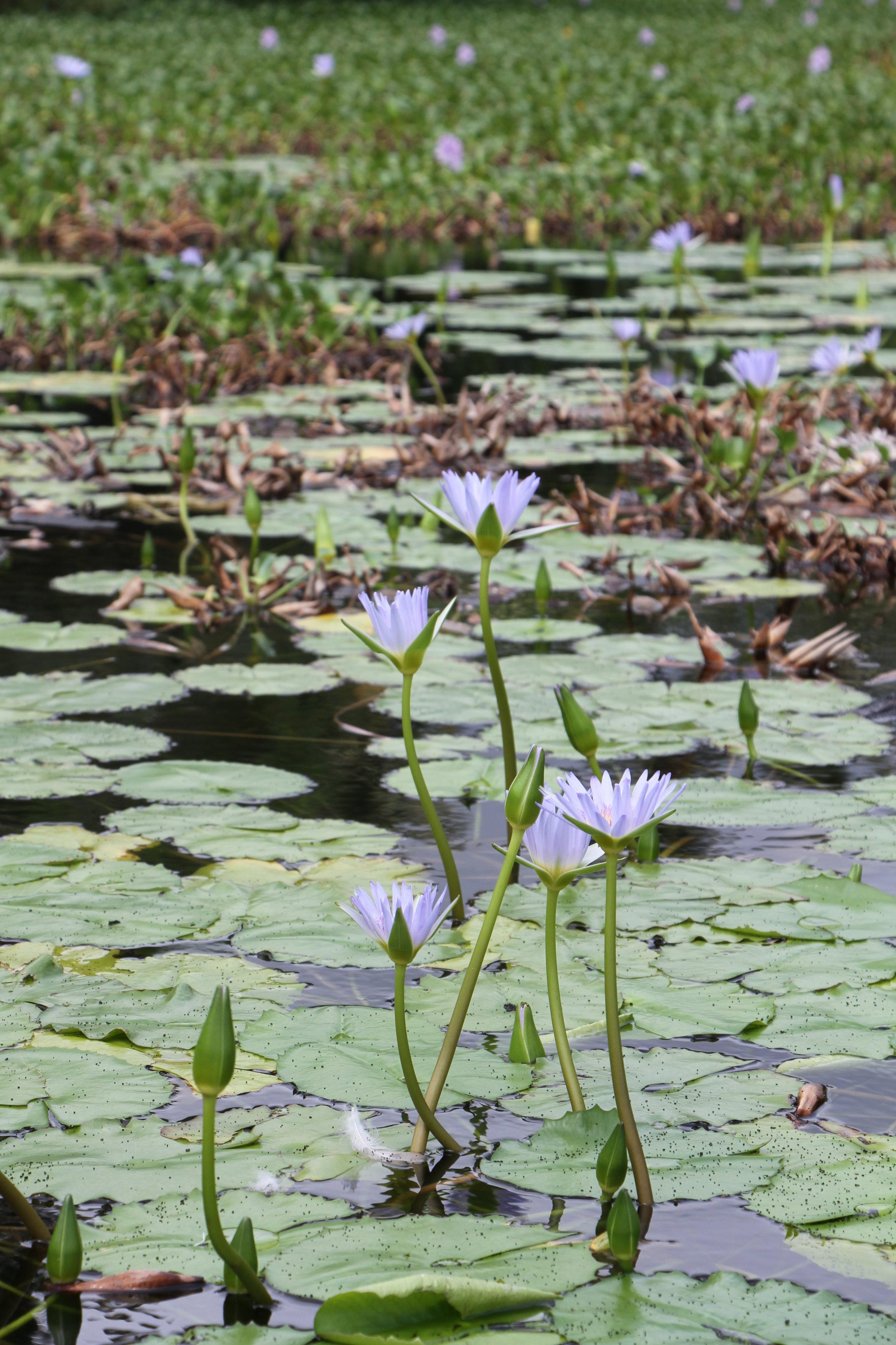 Water Lillies Punalu'u Black Sand Beach