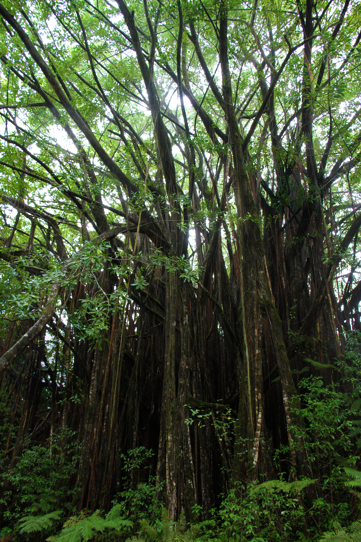 Banyan tree in Akaka Falls State Park