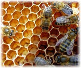 xhow-do-bees-make-honey.jpg.pagespeed.ic.eaP1mFR_U4.jpg
