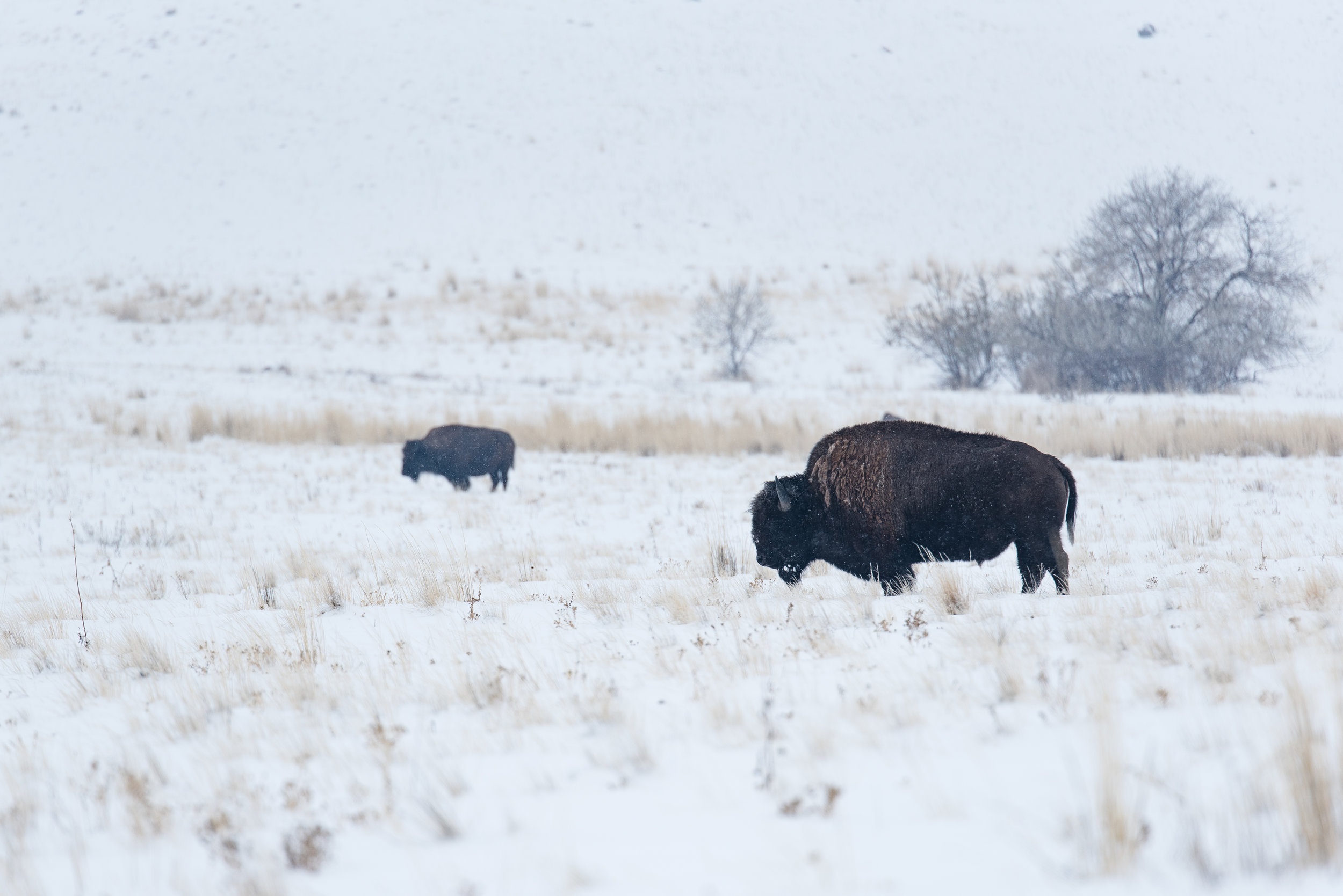 The mighty bison roamin' about. Shutter Speed: 1/2500 Aperture: f/3.2 ISO: 100