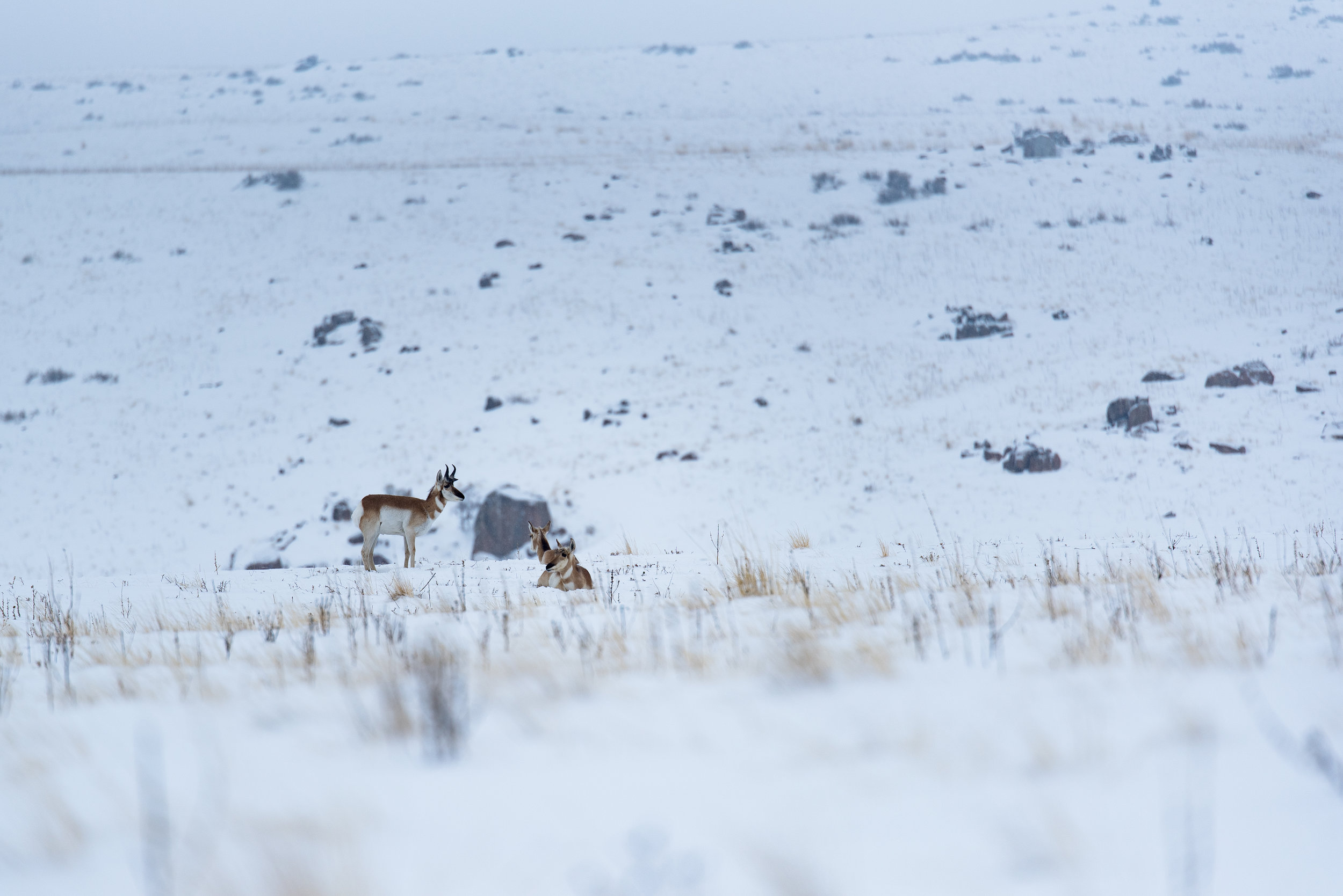 Pronghorn chilling in the snow.
