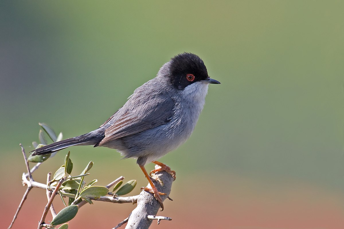 A Sardinian Warbler in the Ajloun Forest Reserve. Photo taken by Andreas Trepte, distributed under  CC BY-SA 2.5  license.