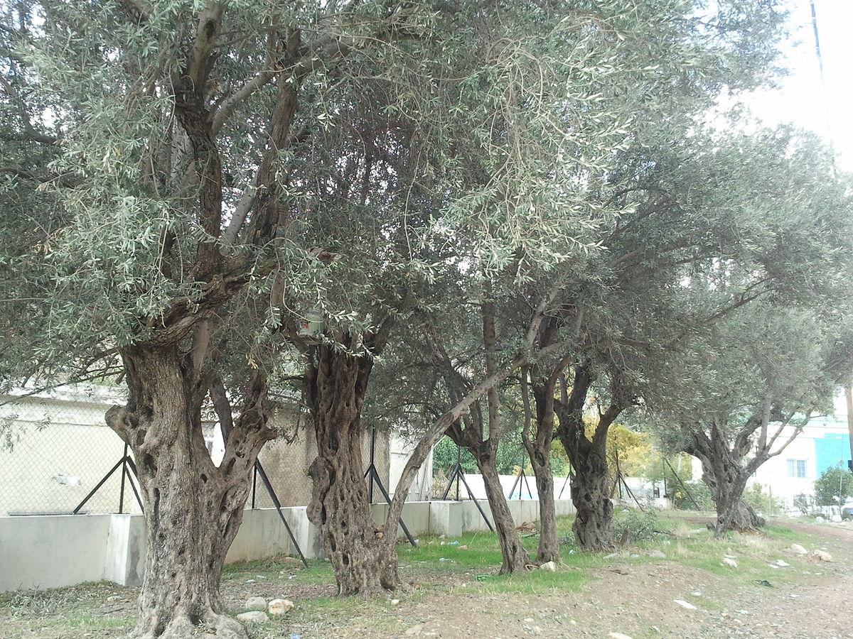 Old olive trees in Jordan.