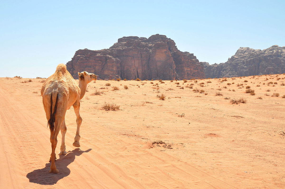 An arabian camel in Wadi Rum. Photo taken by Jorge Lascar, distributed under  CC BY 2.0  license.