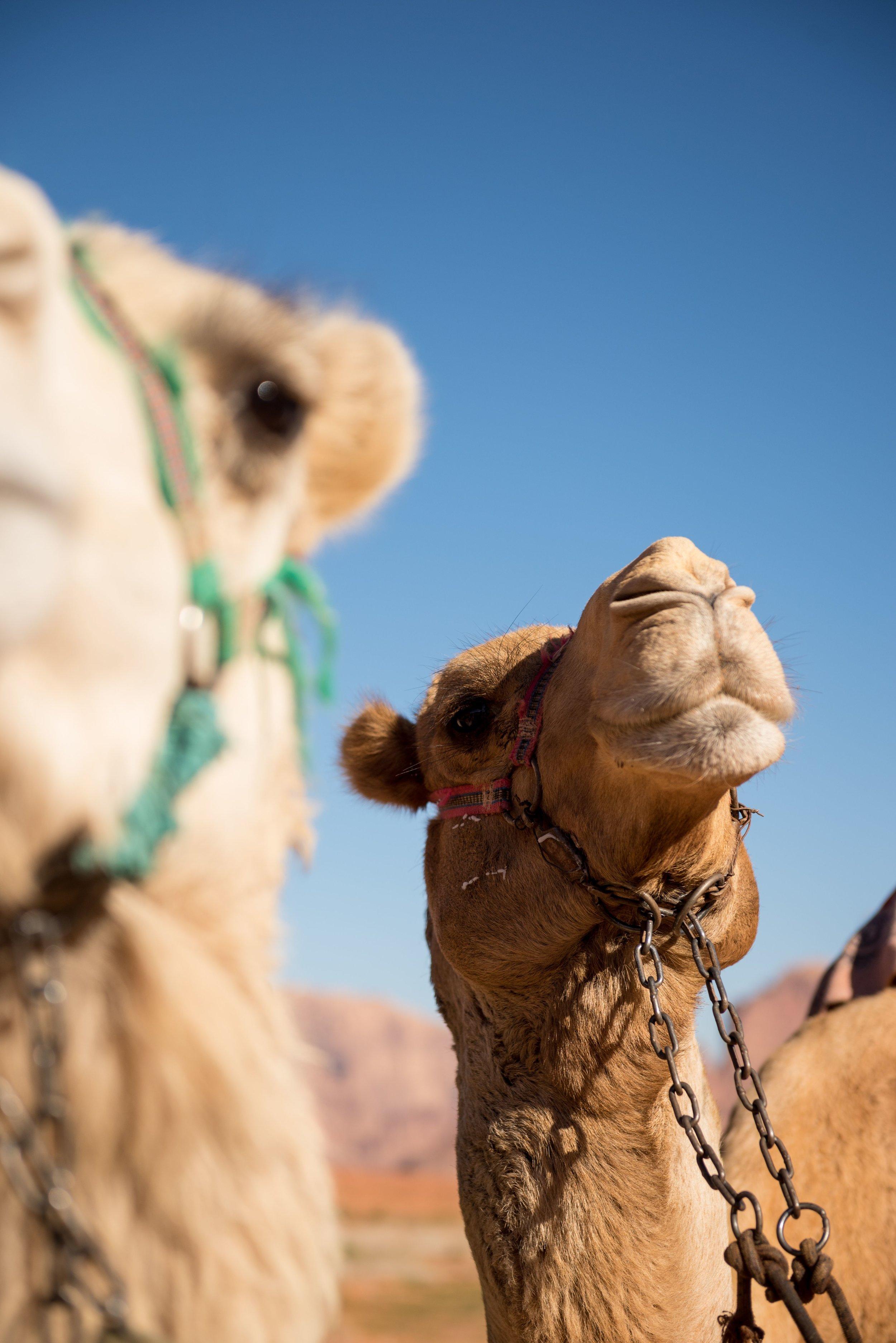 Arabian Camels in the Wadi Rum Desert, Jordan