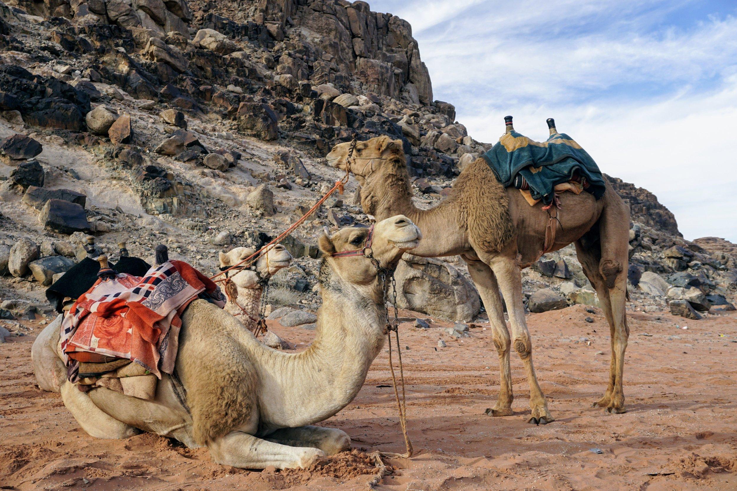 Camel Riding in the Wadi Rum Desert, Jordan