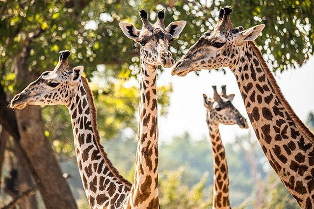 A tower of giraffes in Zambia.