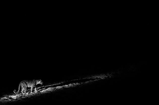 A leopard on the prowl at night. . . . #wildlifephotography  #wildlifephoto #wildlifelovers #earthfocus #wildlifeplanet #wildlifeonearth #wildlifeaddicts #natgeowild  #natgeowildlife #natgeopl #natgeowild_hd #natgeoru  #natgeopix #wildlifeperfection #instagood #photooftheday #vscocom #getlost #explorer #optoutside  #exploretocreate #travelphoto  @nikonartists @nikonusa @nikonphotocontest  @wildlifephotographicmag  @natgeoyourshot @natgeoadventure @animalplanet @wildlifepage